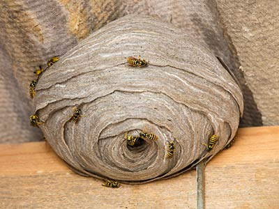 Bee, wasp, & hornet extermination, control and removal in Santa Fe, Taos, Los Alamos, Espanola, Albuquerque, Las Cruces New Mexico and surrounding areas by New Mexico Pest Control