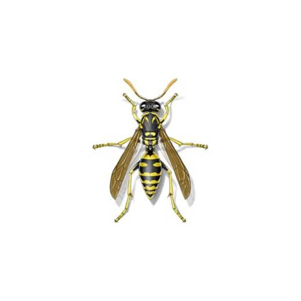 New Mexico Pest Control provides information on paper wasps in Santa Fe and Albuquerque NM.