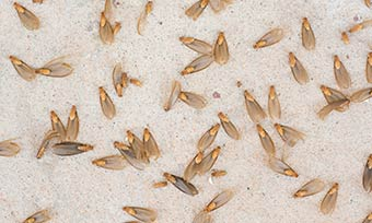 Learn the signs of a termite infestation from New Mexico Pest Control in Santa Fe and Albuquerque NM.