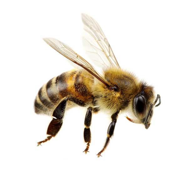 Honey bee identification and information in Santa Fe and Albuquerque NM - New Mexico Pest Control
