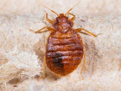 What bed bugs look like in Santa Fe NM - New Mexico Pest Control